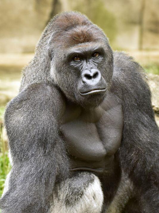 Cincinnati Zoo-Harambe
